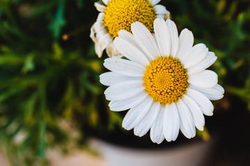 A common daisy in a garden