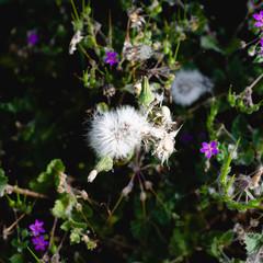 Dandelion in the park