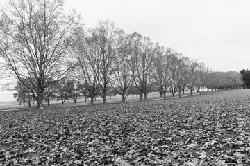 Autumn Fall Season Landscape with dry trees and leaves over equestrian fields black white photo.