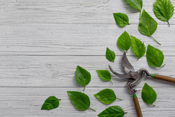 A garden secateur and green leaves on a white rustic wooden background. Pruning plants in the garden. Gardening, creative concept. Top view.