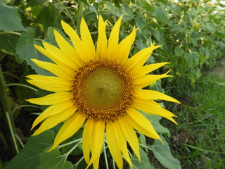 sunflower also called as Helianthus annuus