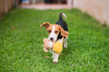 Cute beagle dog running on the grass floor