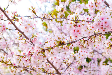Japanese pink sakuraa blossom blooming flower on tree branch