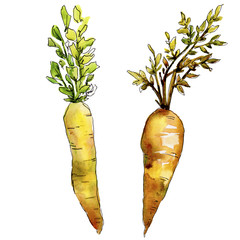 Orange carrot wild vegetable in a watercolor style isolated. Aquarelle wild vegetable for background, texture, wrapper pattern or menu.