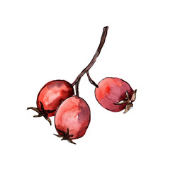 Hawthorn red berry in a watercolor style isolated. Aquarelle berry for background, texture, wrapper pattern, frame or border.
