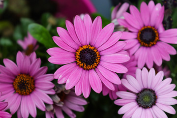 purple gerbera flowers taken from a straight view from above