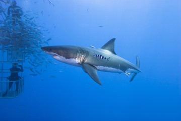 Great white shark sideways with pilot fish in clear blue water