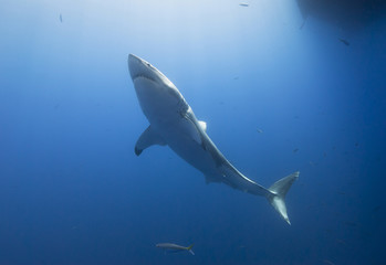 Great white shark from below in clear blue water