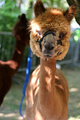 Alpaca is a domesticated species of South American camelid