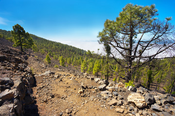 Landscape with endemic pines in the island of La Palma, Canary Islands, Spain