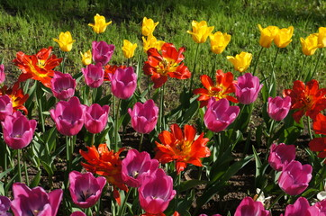 Beautiful bouquet of colorful tulips in spring garden.