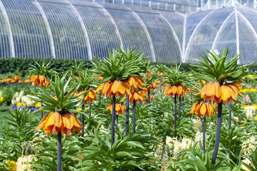 Sunset, Fritillaria imperialis (crown imperial, imperial fritillary or Kaiser's crown), a species of flowering plant in the lily family