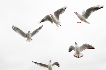 Group of gulls asking for food on the Baltic Sea shore on the island of Usedom in Germany