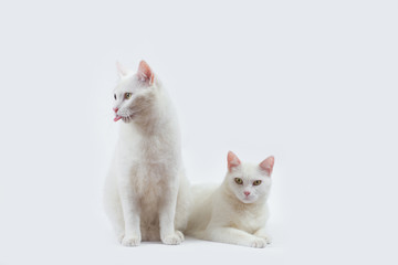 couple cute white cat with white background