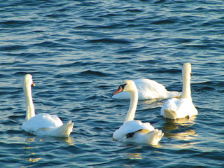 Four white swans floats in blue water of lake.
