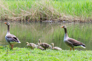 Goose Parents With Their Youngs In Nature