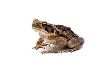 giant marine toad (Rhinella marina)