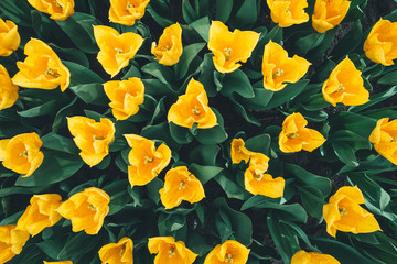 Spring Background With Yellow Tulips