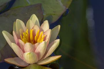 Poster de jardin Nénuphars Nelumbo nucifera, also known as Indian lotus, sacred lotus, bean of India