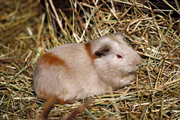 Beige-brown domestic guinea pig (Cavia porcellus) cavy on the straw