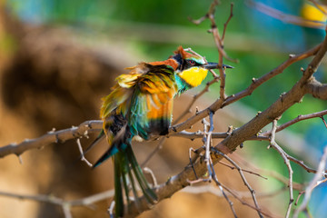 The European Bee-eater, Merops apiaster is sitting and showing off on a nice branch on wind, during mating season