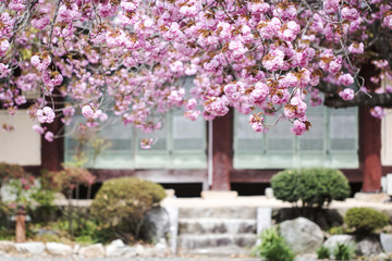 Double cherry blossoms in full bloom