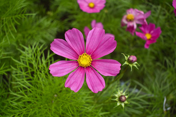 The colorful of cosmos flowers, beautiful flowers.