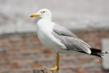 Seagull in Chioggia, Italy