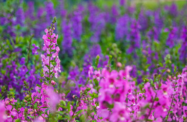 Field of Salvia