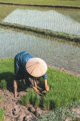 Vietnamese farmer planting rice