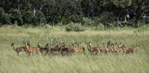 Herd of impala standing in the tall grasses on the savanna in Botswana