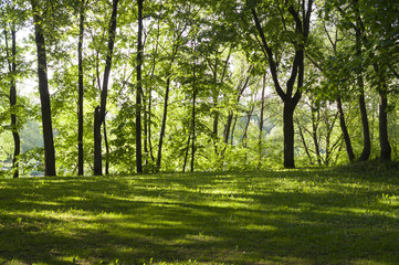 glade with grass  in the forest at spring morning. background, nature.