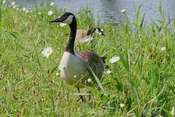 Wild geese at a reservoir.