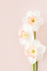 Delicate bouquet of three daffodils Orchid on a pink background, the concept of minimalist creative pastels
