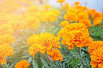Orange  flower in garden for presentation in Holy day and happy day. Sun shine orange color.Picture for interior design. For decorated in living room.
