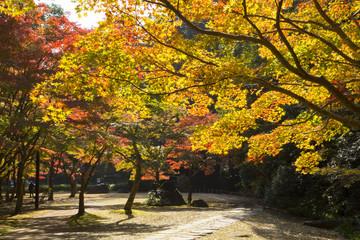 Maple trees  in Kenrokuen garden