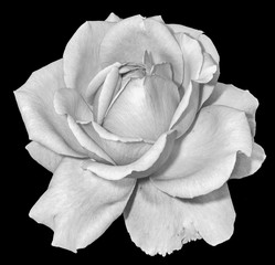 Monochrome black and white fine art still life floral macro flower image of a single isolated flowering rose blossom on black background with detailed texture