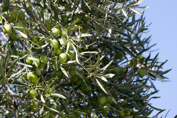 olive tree on nature with blue sky behind
