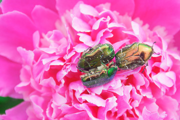 Bronze beetles on a peony flower. Candid.
