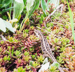 A female lizard among the plants. Candid.