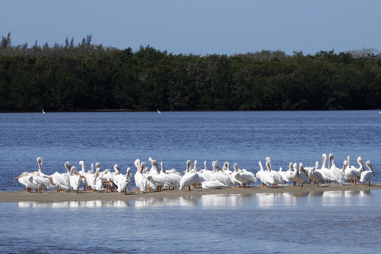 A squadron of American White Pelicans (Pelecanus erythrorhynchos) gathered on shore.