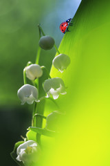 little red ladybug crawling on a green lush foliage fragrant white flower of Lily of the valley in the spring Sunny day in a forest glade