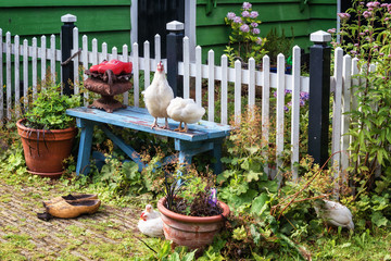 Chickens on and in front of a blue bench in the front yard of a green house