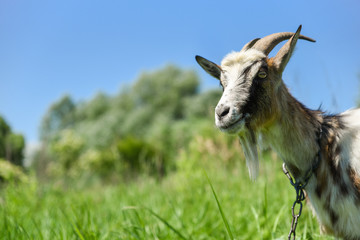 Goat on the meadow, grazing on the chain, beautiful sunny day