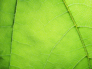 The structure of the leaf of canadian maple. The leaf of a plant to the light.