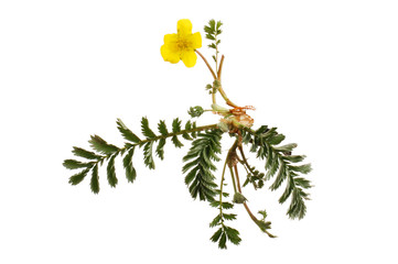 Silverweed flower and foliage