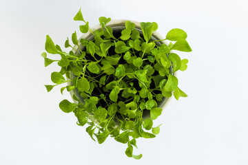 Top view on green rucola growing in a pot on a white background.