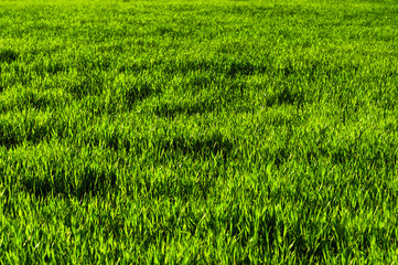 Background of a green juicy grass field with wave patterns from the wind. Spring freshness