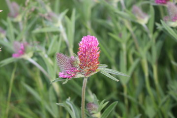 A pink clover blooms in a meadow