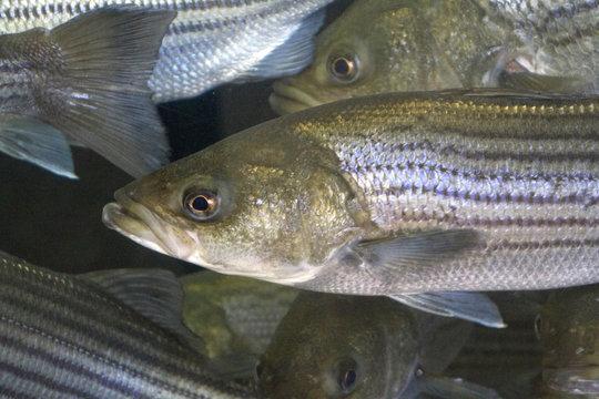 Striped Bass Close Up